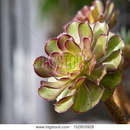 close up of a Sempervivum plant in botanical garden