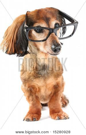 Smart dog. Longhair dachshund wearing glasses.