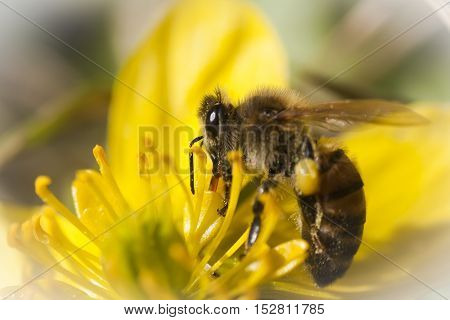 a honey bee pollinating a winter aconite poster