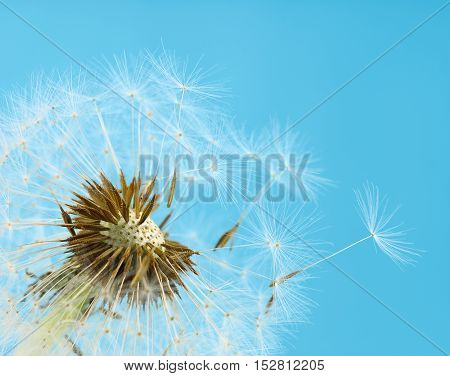 Close up of dandelion seeds blowing away