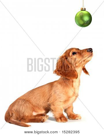 Isolated dachshund puppy looking up at a green Christmas ornament.