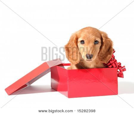 Cute dachshund puppy in a red gift box for Christmas.