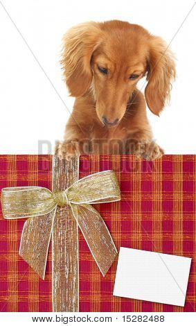Dachshund puppy looking down at a Christmas present. Add your own text.  Studio isolated.