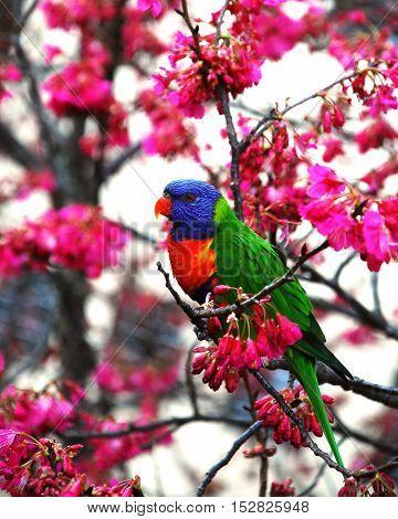 Rainbow Australian Lorikeet Sitting on a Blossom Tree