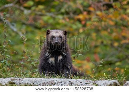 Wolverine with green vegetation in the background