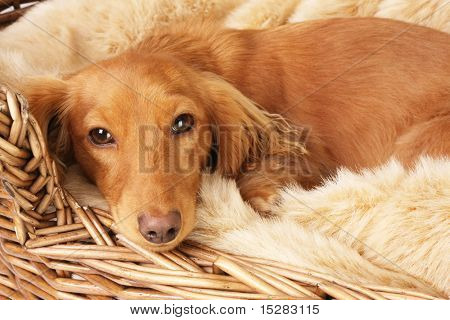 Lonely looking dachshund in her basket.