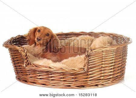 Dachshund in her basket.