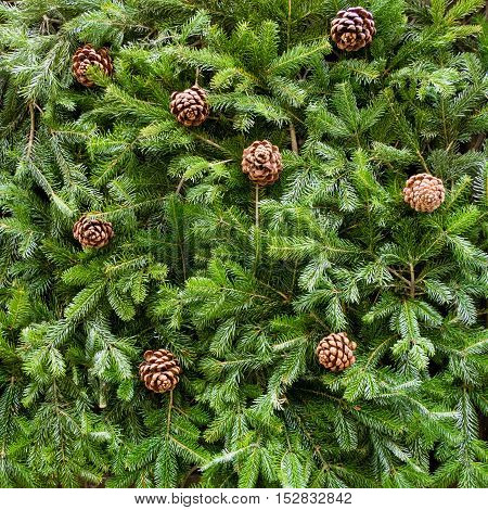 Background of Christmas tree branches with pine cones square format
