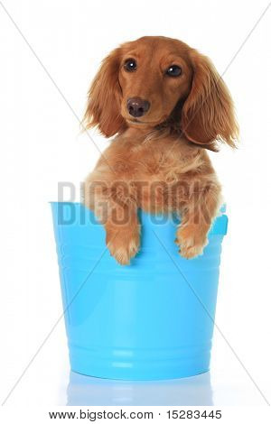 dachshund puppy in a blue pail.