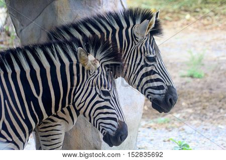 head and neck view of two Grevy's Zebras standing together under a zoo shelter