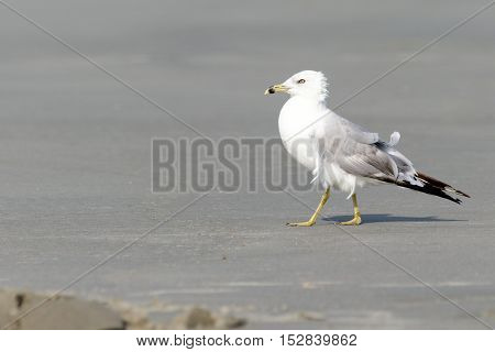 Close up of a lone seagull at the beach on the sand