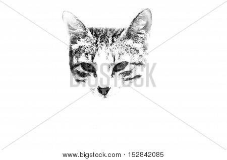 Close-up of cat's muzzle on white background.Exposed.Isolated