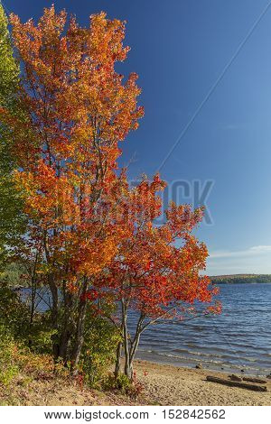 Brilliant Sugar Maple On A Lakeshore - Ontario, Canada