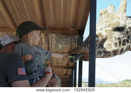 CAMP VERDE, ARIZONA - OCTOBER 13: The Out of Africa Wildlife Park on October 13, 2016, near Camp Verde, Arizona. A boy feeds a giraffe celery on a safari shuttle bus at the Out of Africa Wildlife Park near Camp Verde, Arizona.