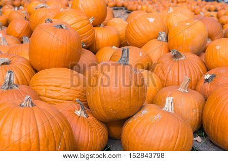 Pumpkins displayed on pallets for sale at local store.