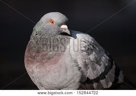Portrait  of a beautiful relaxing pigeon. Pigeons and Doves
