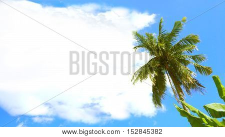 Coconut tree and Coud have free space for your word or image and coconut tree The leaves are not too blurred to be beautiful at Sukhothai province in Thailand Asia design for advertisement card poster namecard.
