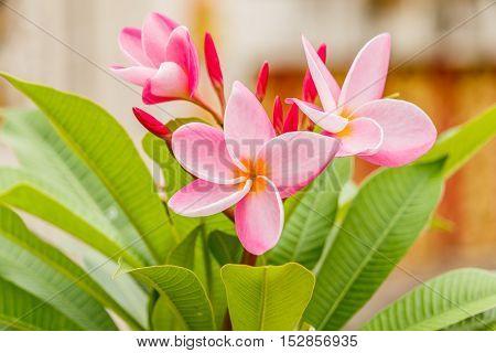 Plumeria flower pink and white frangipani tropical flower plumeria flower blooming on tree spa flower