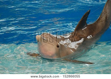Dolphin holding a pose on a step with his back arched.