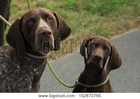 German Shorthaired Pointers males. Adult and puppy