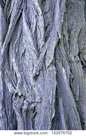 The surface of the trunk of the tree locust, as a backdrop.