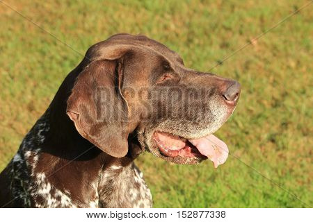 German Shorthaired Pointer male six years old