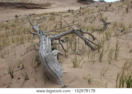 A tree of a ghost forest in Sleeping Bear Dunes National Lakeshore, Michigan