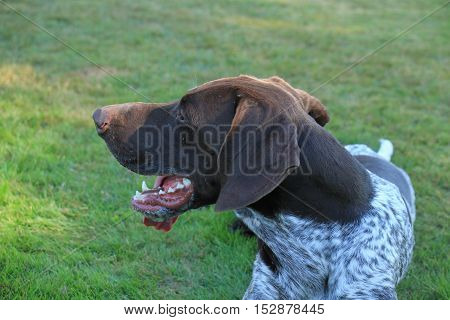 German Shorthaired Pointer male almost 2 years old