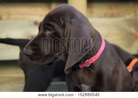 German shorthaired pointer puppy 8 weeks old solid liver female