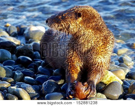 A river otter photographed holding a partially eaten fish near the sea on a stoney beach in BC.