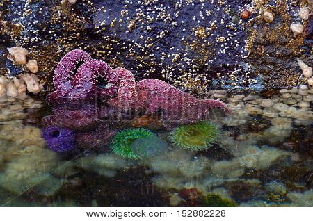 Several purple sea stars of the species Pisaster ochraceus cling to the rocks on the wall of Browning Passage at low tide. Green sea anenomes and white sea anenomes can also be seen in the water.