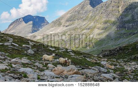 Sheep Family in the Mountains looking towards the Camera