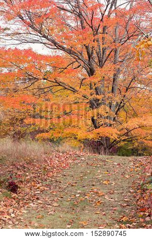 Mature maple tree in with autumn colors.