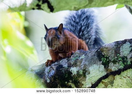 Red Squirrel With A Bushy Gray Tail