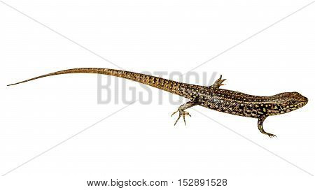 Brown and yellow Eastern Water Skink, Eulamprus quoyii, isolated on white background. from Australia, isolated on white background