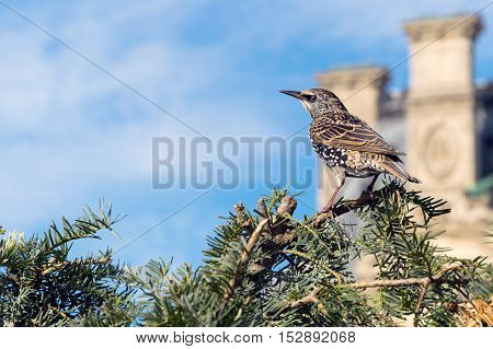 Common Starling On The Tree