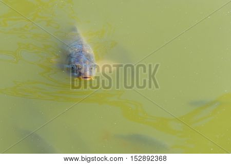 Fish Swimming In Shoal In A Green Water.