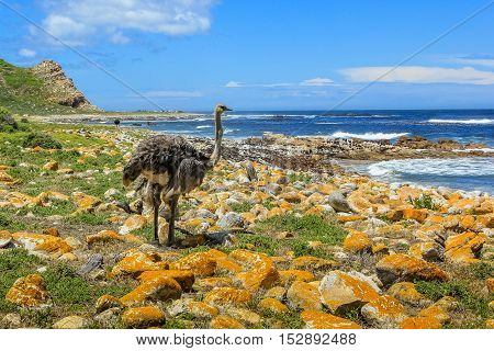 Ostrich, Struthio camelus, in the beautiful coast at the Cape of Good Hope, South Africa.