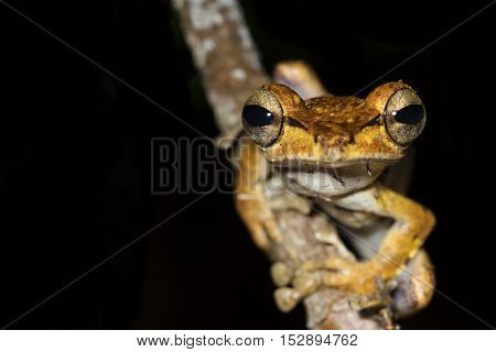 Collett's Tree Frog (Polypedates Colletti). Borneo Rainforest. Close up of a Collett tree frog sat on a branch.
