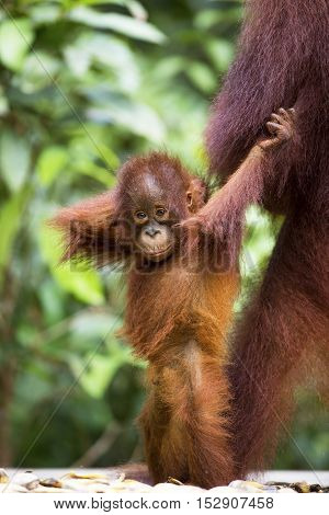 Baby orang-utan standing next to its mother in their native habitat. Rainforest of Borneo.