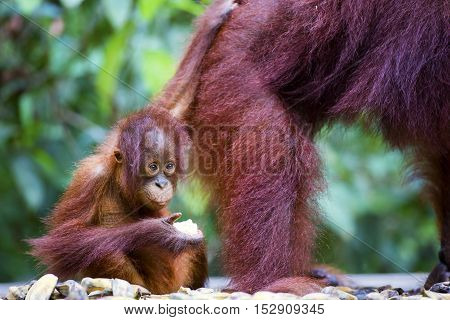 Baby orang-utan eating a banana next to his mother in their native habitat. Rainforest of Borneo.