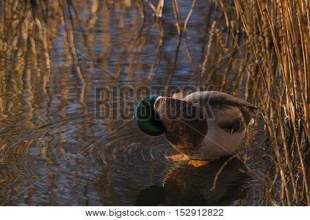 Close up of a relaxing mallard duck in reed beds. Mallard Ducks