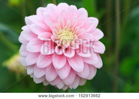 Macro of a rose dahlia - cultivar Zebrano poster