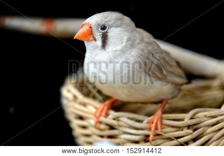 Female Zebra-finch Bird