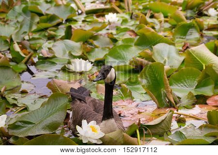 Close up of a Canada Goose on a lake full of water lilies. Canada Geese
