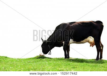 Cow on white background. Farm animal concept.