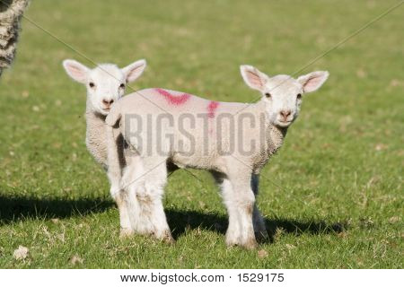 Two young lambs in a field on a sunny spring day poster