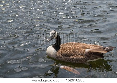 Close up of a swimming Canada Goose. Canada Geese