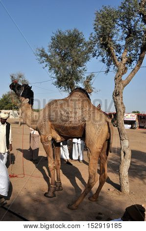 Naguar Rajasthan India- Febuary 10 2011: A young camel for sale at Naguar Cattle Fair at Naguar Rajasthan India. Nagaur Cattle Fair (also known as Ramdeoji Cattle Fair) is held every year in the month of Jan-Feb in Nagaur district of Rajasthan is the seco