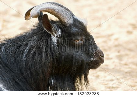 Portrait of Black Billy Goat with Big Horns